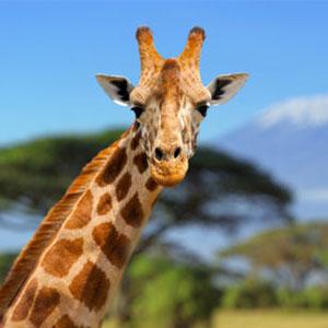 Giraffe in Tanzania - Blue Tanzanite Gold Earrings